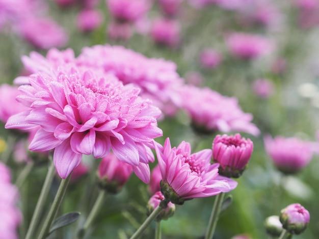 Różowa chryzantema kwitnie z wodnymi kroplami