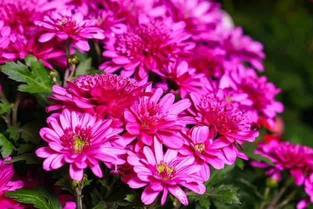Różowa chryzantema roślina na zielonych rocznych kwiatach chryzantemy rozgałęzia się krzak małych jasnoróżowych p...