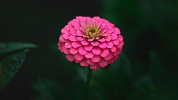 Różowa cynia w okresie kwitnienia.