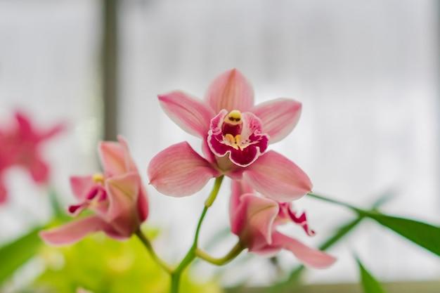 Różowa egzotyczna orchidea kwitnie w ogródzie botanicznym