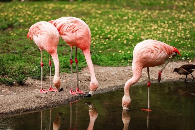 Różowa flaming woda pitna w naturze