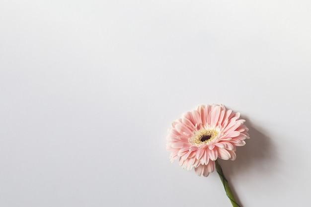 Różowa gerbera na białym tle z miejscem na tekst