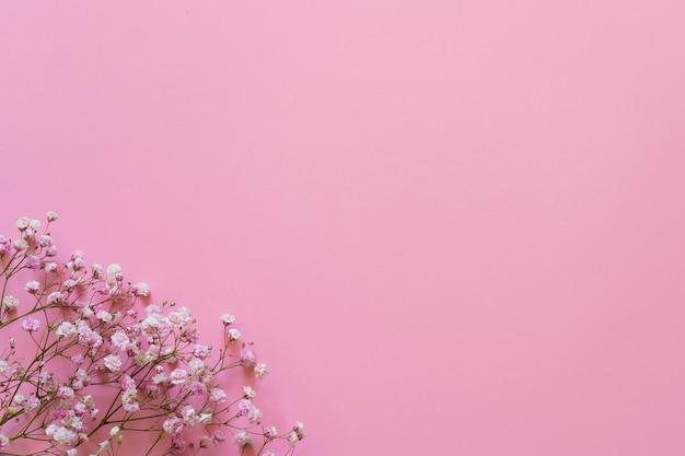 Różowa gipsówka na różowym tle