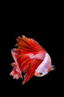 Różowa i czerwona betta ryba, siamese bój ryba na czarnym tle