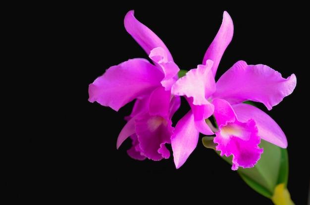 Różowa i fioletowa orchidea cattleya