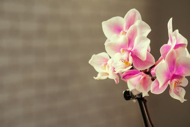 Różowa i żółta pastelowa orchidea z bliska na niewyraźne tło