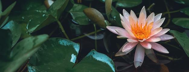 Różowa leluja wodna lub lotosowy kwiat z lotosowym liściem w stawie