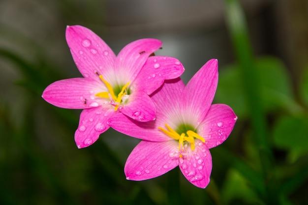 Różowa lilia deszczowa, bardzo powszechny kwiat w ogrodach w rio de janeiro (zephyranthes rosea)