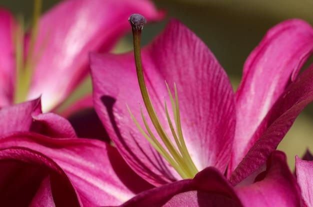 Różowa lilia w ogrodzie botanicznym słupek i pręciki zbliżenie