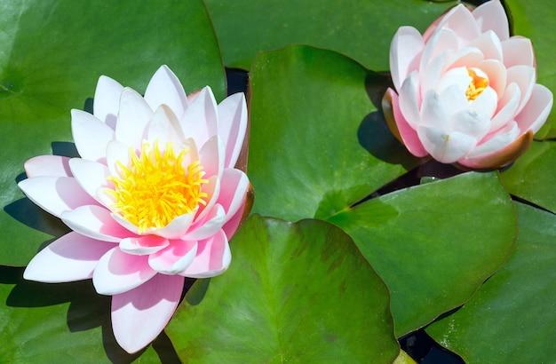 Różowa lilia wodna kwiat w parku.