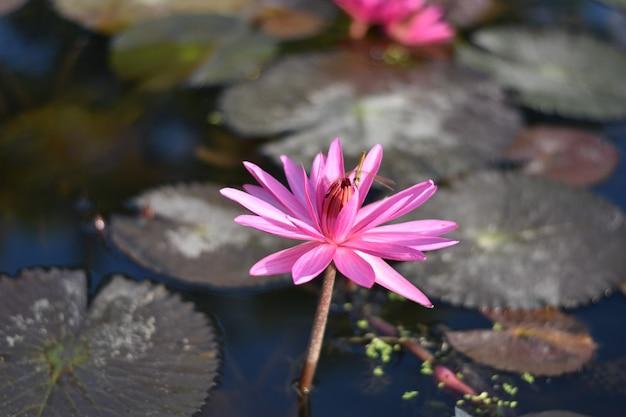 Różowa lilia wodna lub kwiat lotosu perry's orange sunset