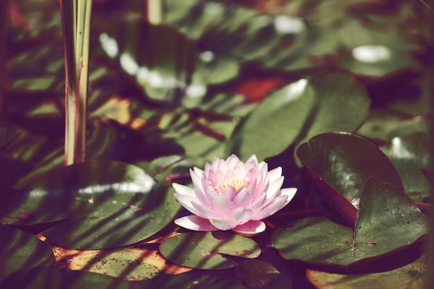 Różowa lilia wodna między liśćmi w japońskim stawie