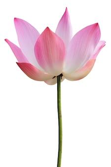 Różowa lilia wodna na białym tle