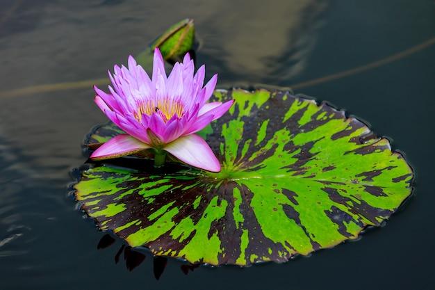 Różowa lilia wodna z pięknym liściem na wodzie