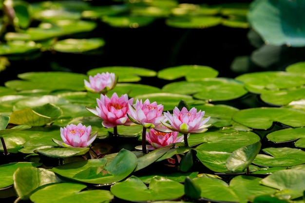 Różowa lilia wodna z zielonymi liśćmi w stawie