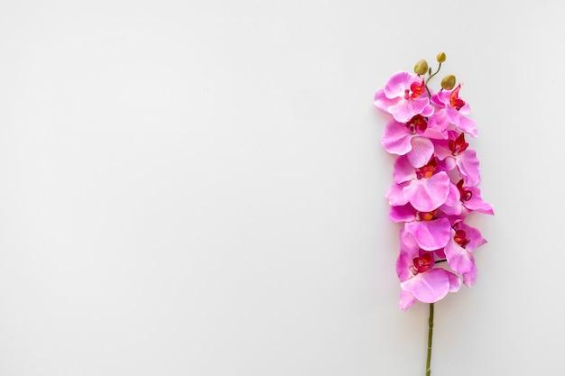 Różowa orchidea kwitnie nad białym tłem