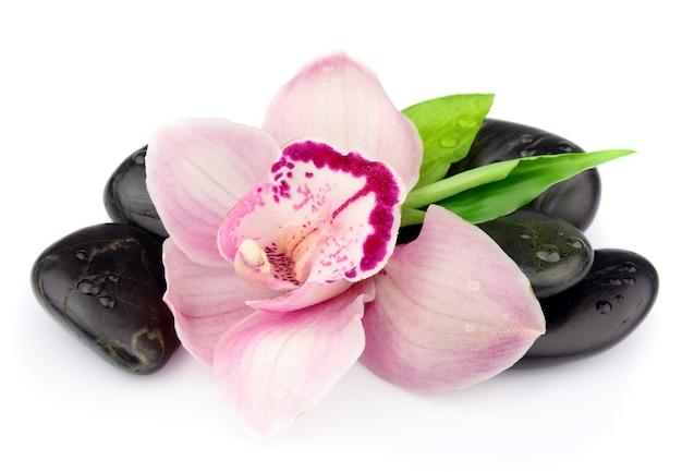 Różowa orchidea na czarnych kamieniach na białym tle