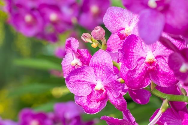 Różowa orchidea, vanda, kwitnące kwiaty, w delikatnym niewyraźnym stylu, na jasnym słońcu bokeh i kolorowej naturze, selektywny punkt ostrości