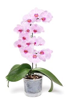 Różowa orchidea w białej doniczce. odosobniony