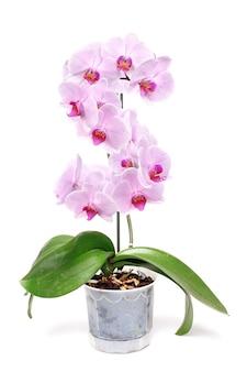 Różowa orchidea w białej doniczce