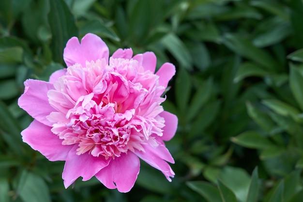 Różowa piwonia kwiat na tle zielonej trawy.
