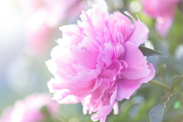 Różowa piwonia kwitnąca w ogrodzie. naturalne światło dzienne.