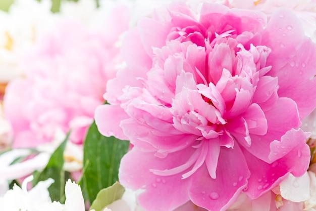 Różowa piwonia kwitnąca w ogrodzie.