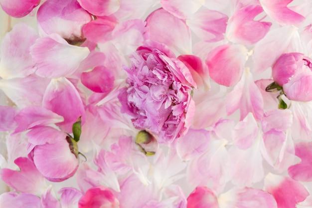 Różowa piwonia w mlecznej wodzie. płatki kwiatów