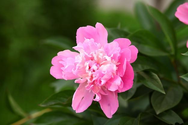 Różowa piwonia.