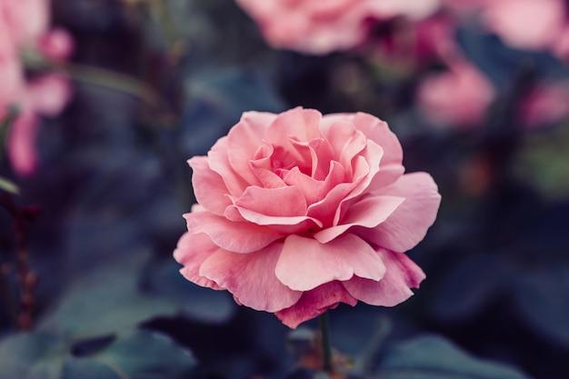 Różowa róża kwiat w ogrodzie