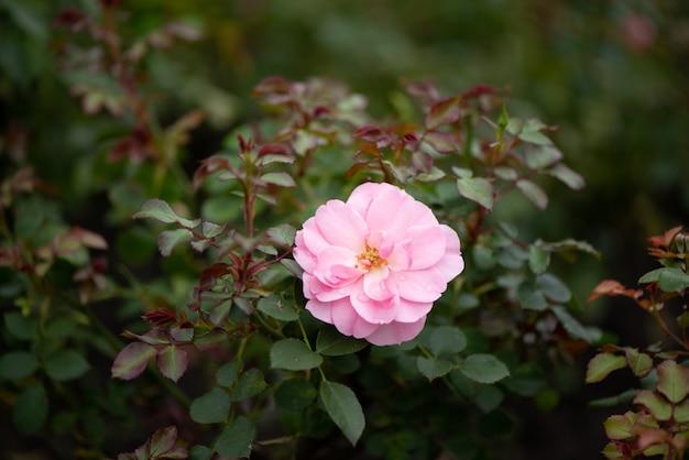 Różowa róża kwitnie w ogrodzie