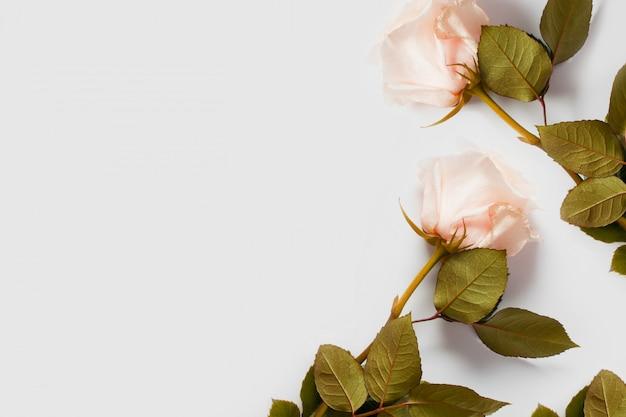 Różowa róża na białej ścianie, z miejscem na tekst, z miejsca kopiowania. koncepcja delikatnych ścian z kwiatami, ścian do kwiaciarni, tekstów ślubnych, bielizny i perfum.