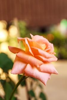 Różowa róża o jaskrawych kwiatach zmoczonych wodą.
