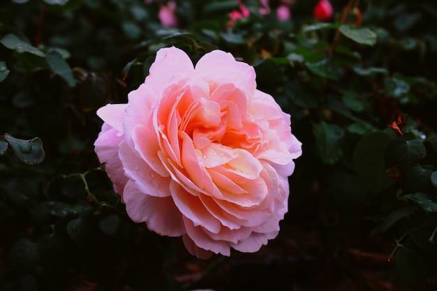 Różowa róża ogrodowa z kroplami wody na niej w ogrodzie z rozmytą ścianą