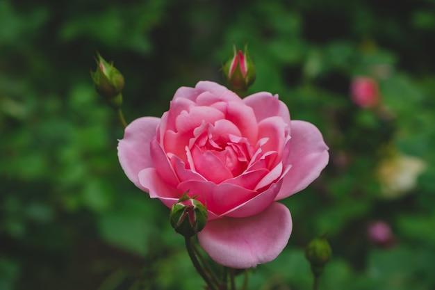 Różowa róża w ogrodzie
