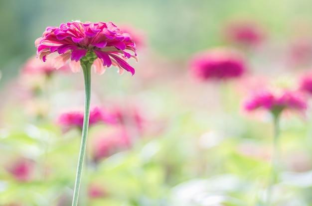 Różowa stokrotka gerbera kwitnie z zamazanym tłem