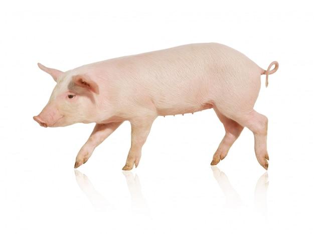 Różowa świnia chodzenie na białym tle