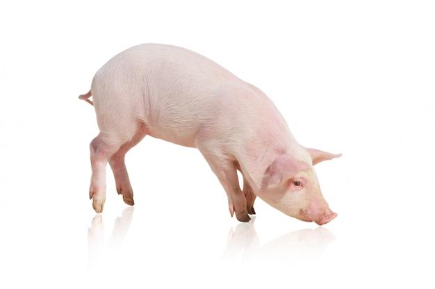 Różowa świnia na białym tle