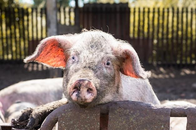 Różowa świnia w błocie