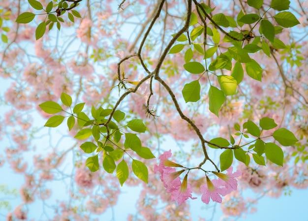 Różowa trąbka kwiat tabebuia