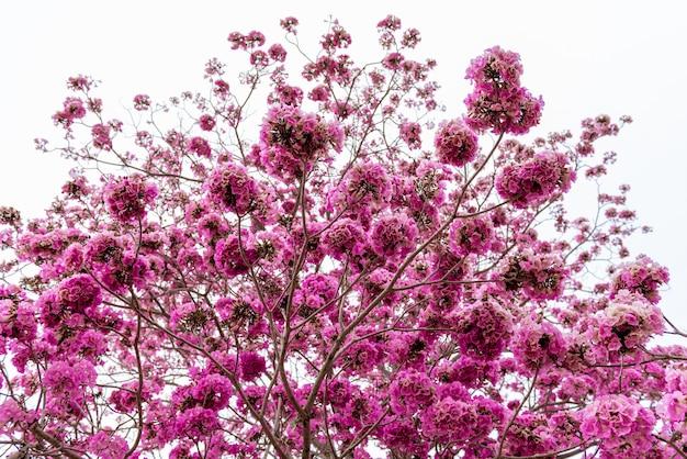 Różowa trąbka na drzewie bez liścia, mrówka widok
