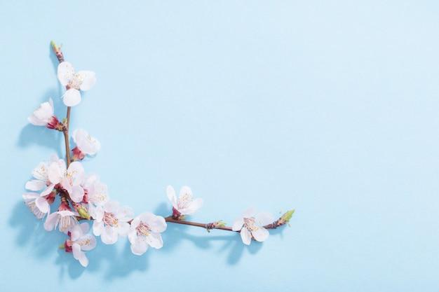 Różowa wiśnia kwitnie na błękitnym tle