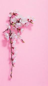 Różowa wiśnia kwitnie na różowym tle