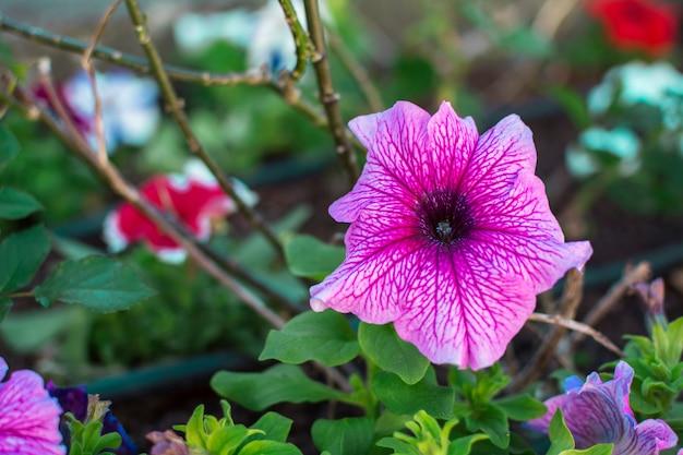 Różowe alcea lub malwy kwitnące wraz z zielonymi roślinami.