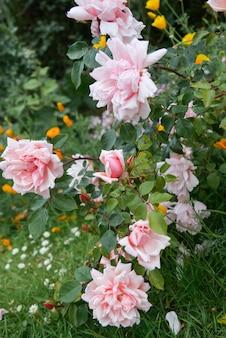 Różowe angielskie kwiaty róży rosnące w ogrodzie, czas letni.