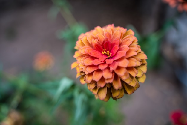 Różowe cynie lub piękne cynie w ogrodzie kwiatowym