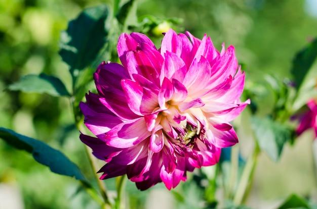 Różowe dalie w ogrodzie