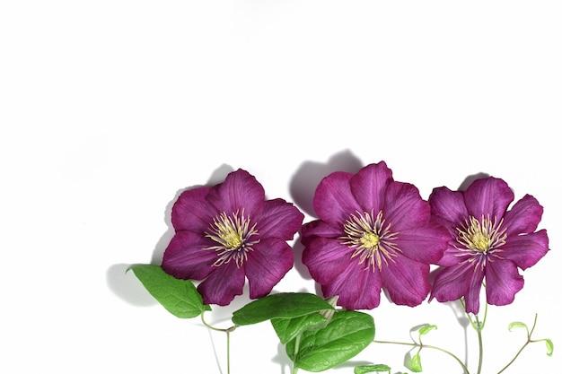 Różowe fioletowe kwiaty powojników na białym tle. obramowanie lub ramka tekstu. tle kwiatów lato lub wiosna. kartka z życzeniami.