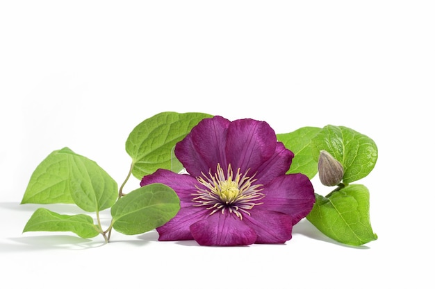 Różowe fioletowe kwiaty powojników na białym tle. tle kwiatów lato lub wiosna. pocztówka.
