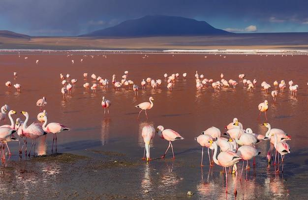 Różowe flamingi andyjskie w rezerwacie narodowym laguna colorada eduardo avaroa boliwia